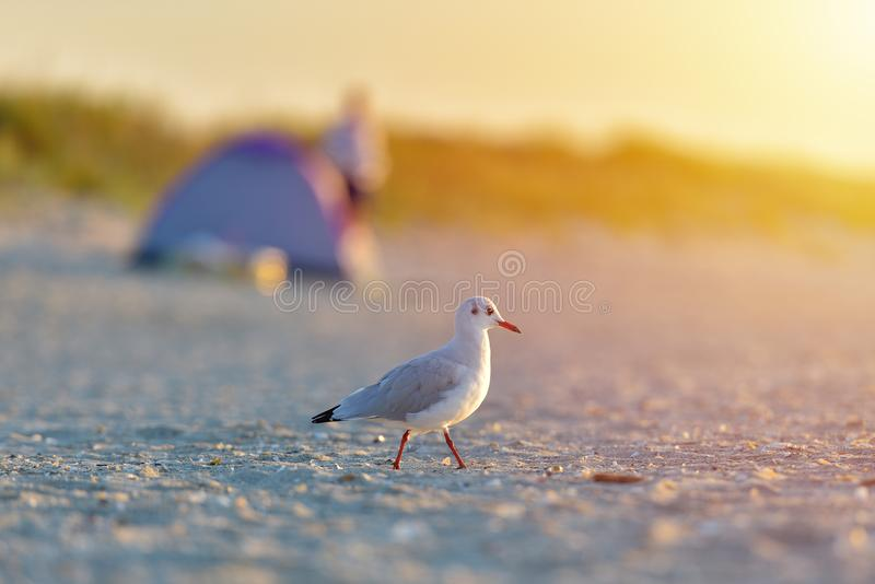 Seagull pozycja na jego ciekach na plaży przy wschodem słońca Zamyka w górę v obrazy stock