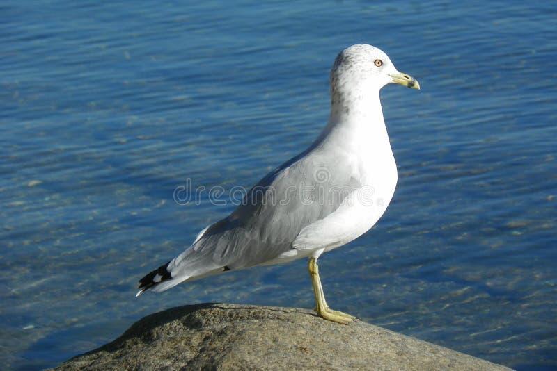 Seagull pozycja na skale zdjęcie stock