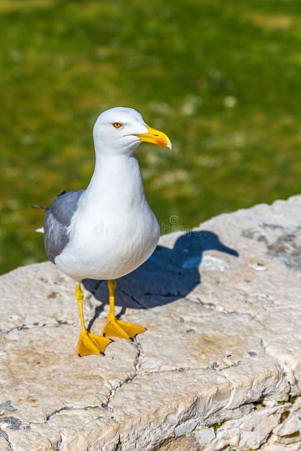 Seagull pozycja Na wypuscie fotografia royalty free
