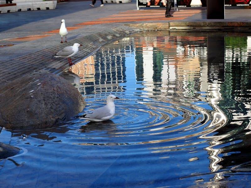 Seagull pozycja w miasto stawie lub fontannie zdjęcia stock