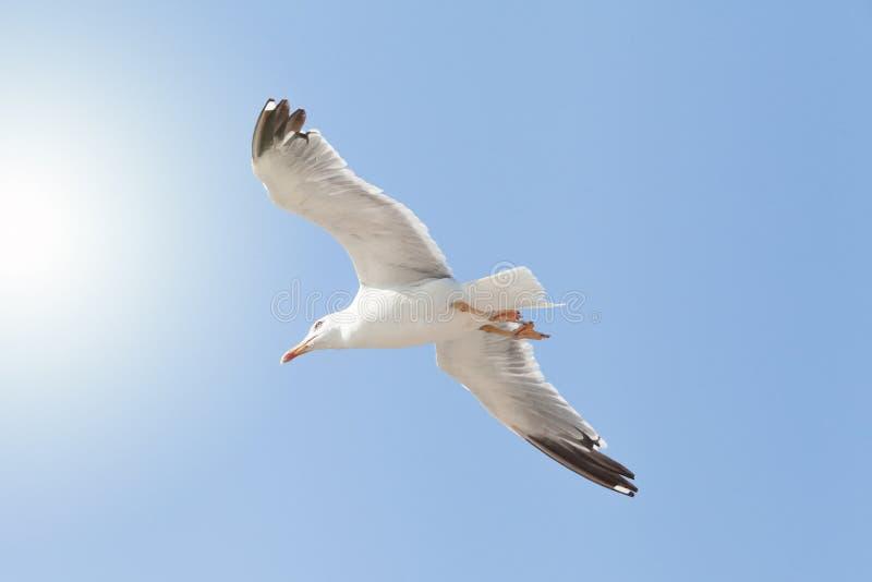 Seagull przeciw niebieskiemu niebu, uwalnia jako ptak obok słońca obrazy stock