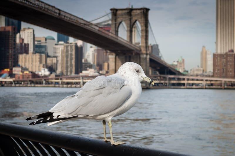 Seagull przy mosta brooklyńskiego parkiem zdjęcia royalty free