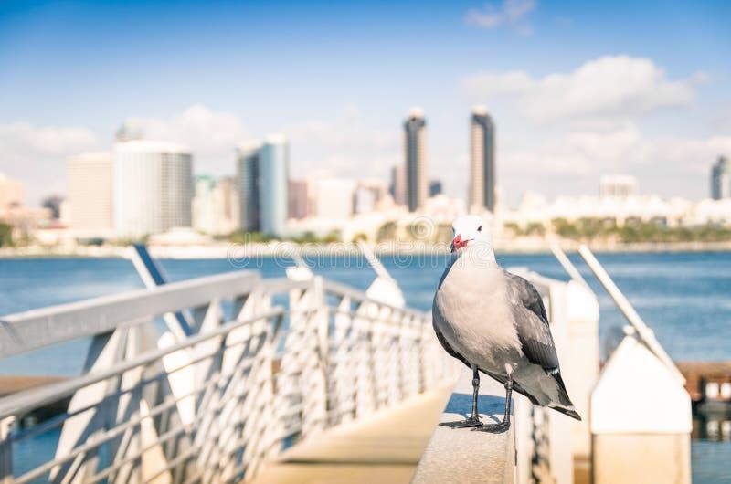 Seagull przy San Diego nabrzeżem z linia horyzontu widokiem obrazy stock