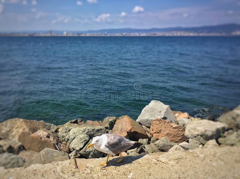 Seagull przy seashore zdjęcia stock