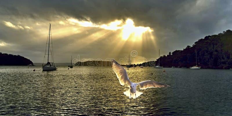 Seagull przy wschodem słońca z Crepuscula promieniami obraz royalty free