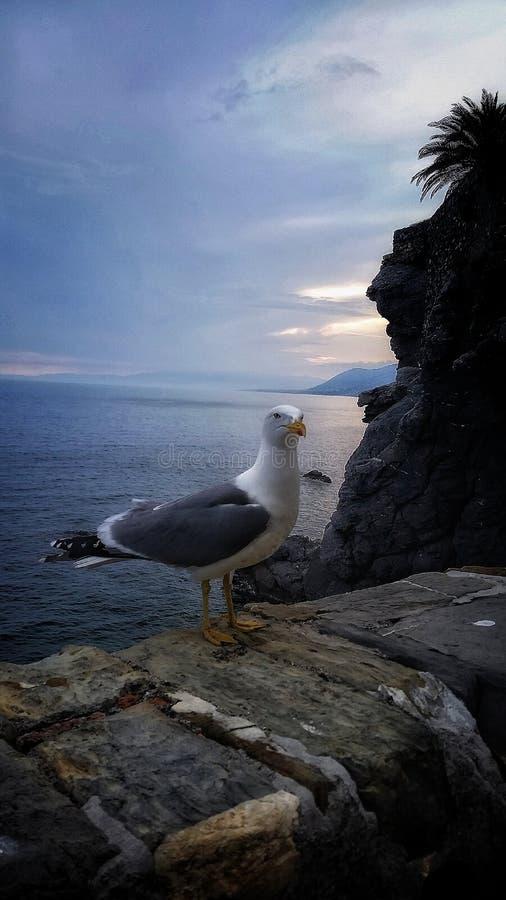 Seagull przy zmierzchem zdjęcie royalty free