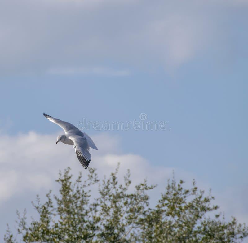 Seagull ptak unoszący się nad drzewnym wierzchołkiem fotografia stock