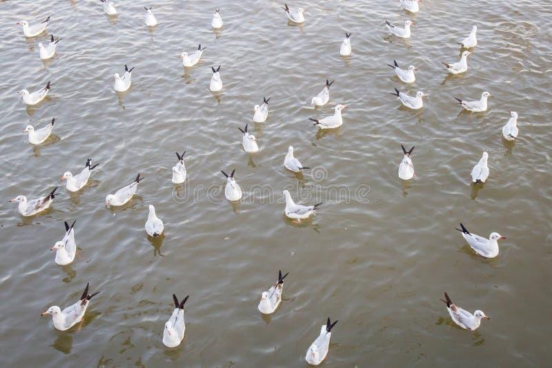 Seagull ptasi dopłynięcie na morzu przy uderzenia poo, Samutprakan, Tajlandia fotografia royalty free