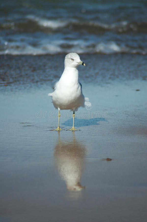 Seagull reflection royalty free stock photography