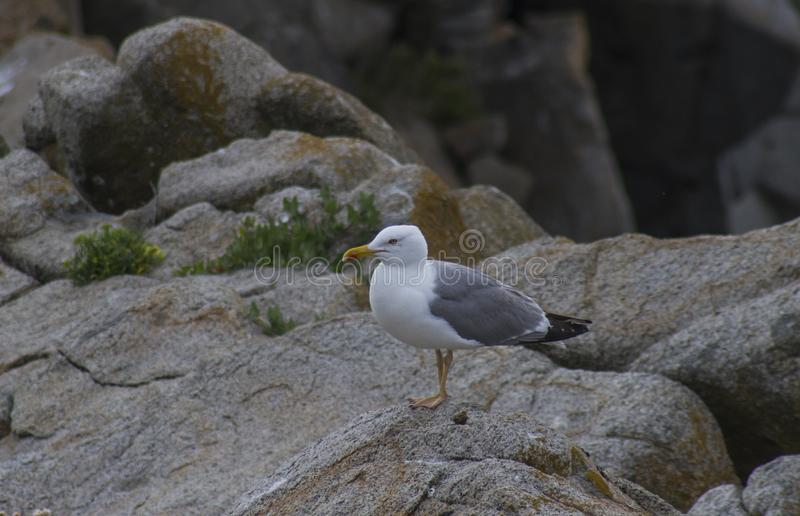 Seagull resting on the rock royalty free stock image
