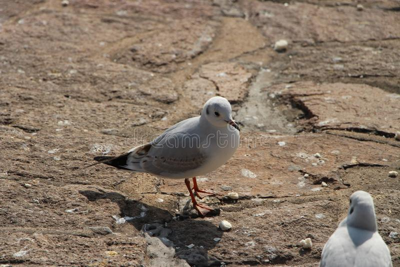 A seagull resting on a rock royalty free stock photos