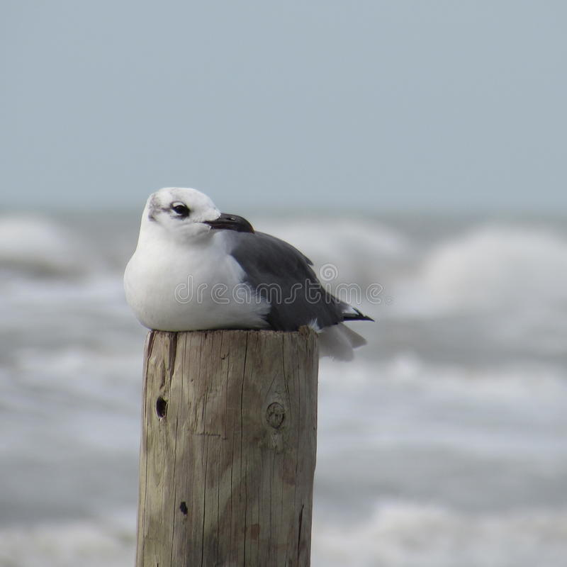 Seagull resting. Single seagull resting on post royalty free stock image