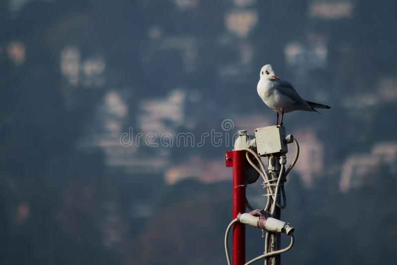 Seagull resting. White seagull resting on an antenna. Lake Como, Italy stock images
