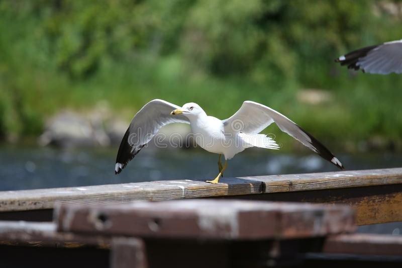 Seagull resting on a wood stock image