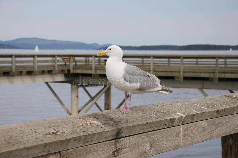 Seagull resting on a wooden bridge royalty free stock images