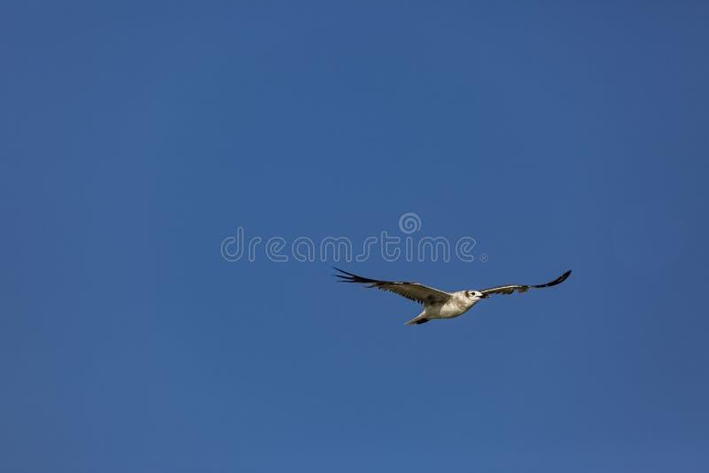 Seagull 2 royalty free stock photo
