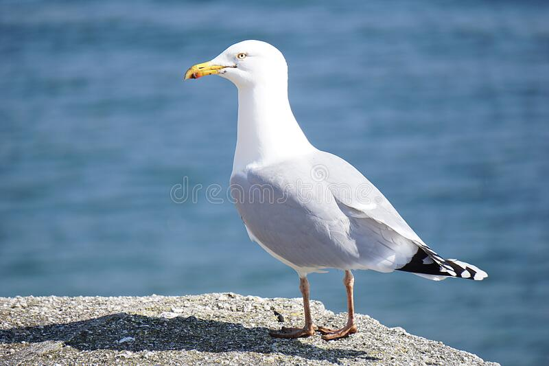 Seagull on rock royalty free stock images