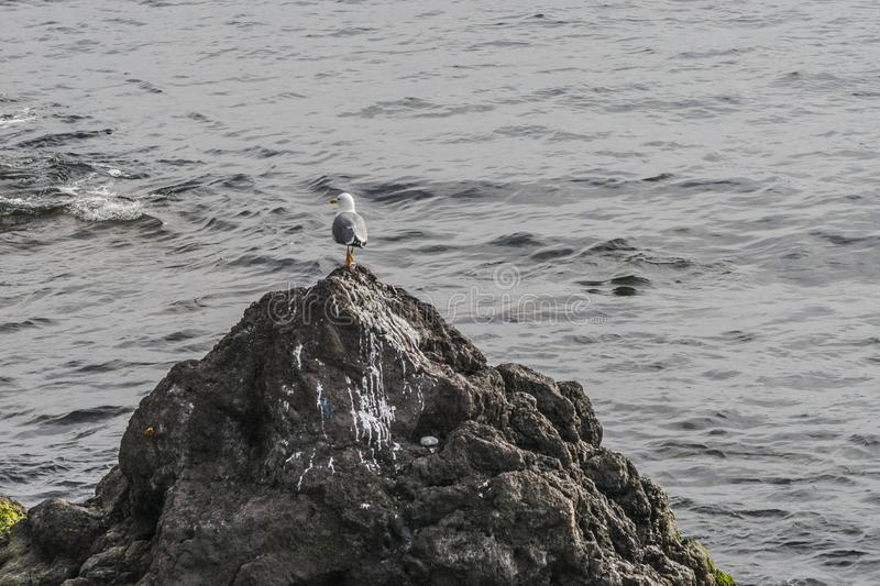Seagull on the rock stock photography