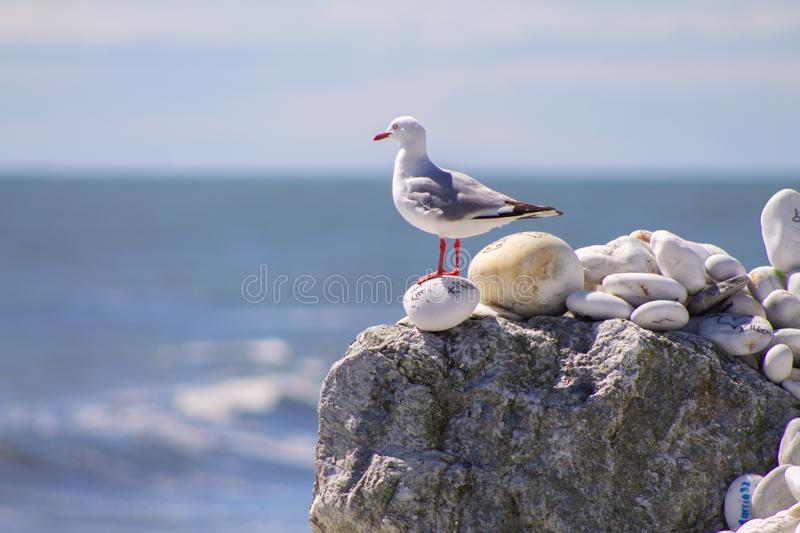 Seagull on a rock with message laying om a beach at Bruce Bay stock photography