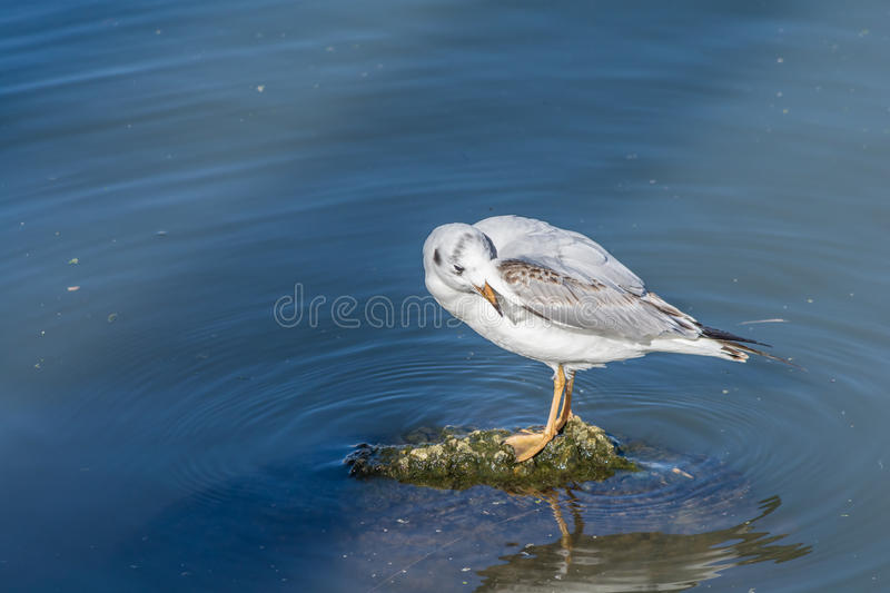 Seagull on a Rock royalty free stock photo