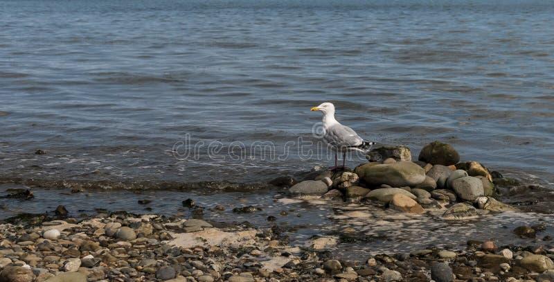 Seagull on the Rocks stock photos