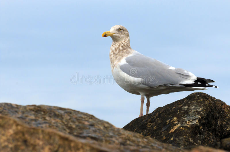 Seagull on the Rocks. A seagull stands on the rocks and looks onward royalty free stock photo