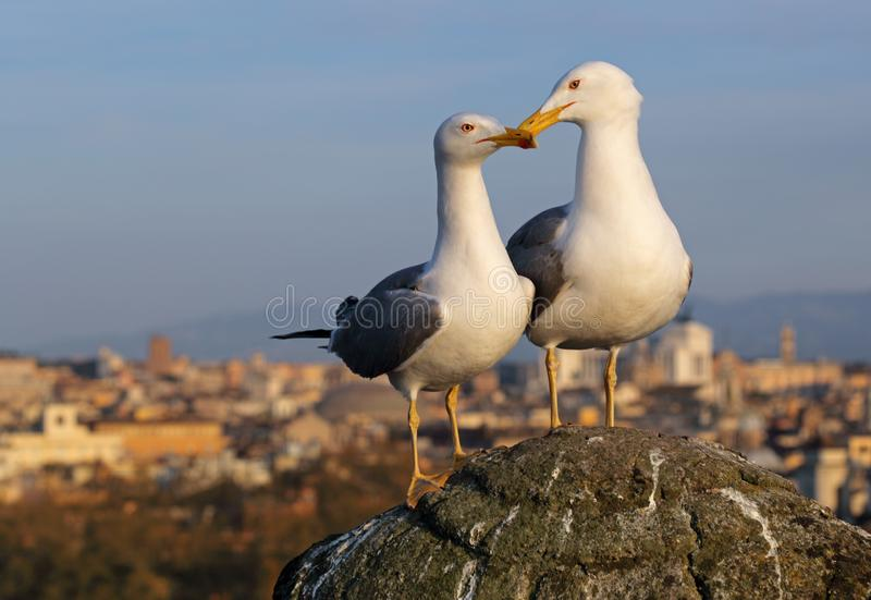 Seagull in Rome stock images
