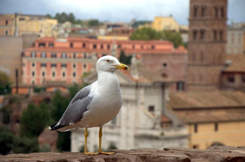 Seagull in Rome royalty free stock image