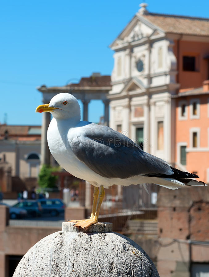 Seagull in Rome. The seagull in Rome, Italy stock image