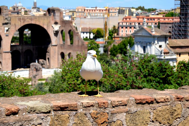 Seagull in Rome royalty free stock photos