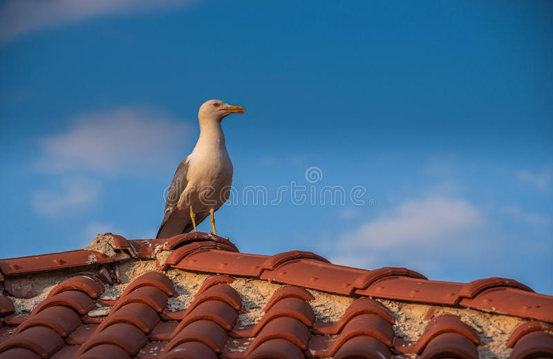 Seagull on the roof. Of an old house in Nessebar, Bulgaria stock photo