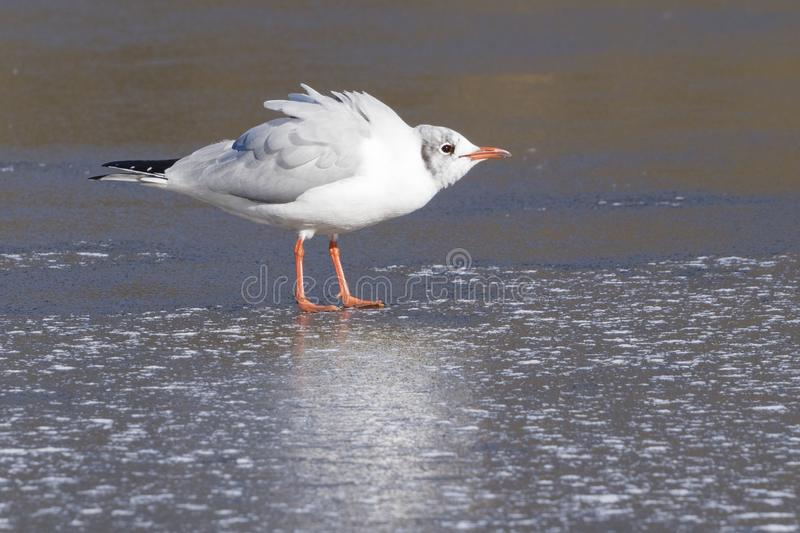 Download A Seagull Standing On The Ice Stock Photo - Image of alone, feathers: 109428128