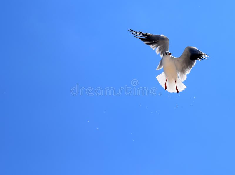 A seagull`s bird flies against the blue sky. A seagull`s bird against the background of a bright blue sky. Silver gull in flight. A seagull on a sunny summer royalty free stock images