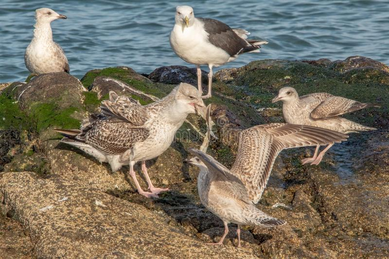 Seagull`s Surrounding Seagull with Fish in It`s Mouth royalty free stock photos