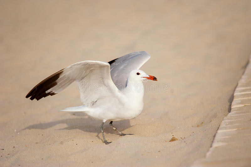 Seagull in the sand of beach stock photo