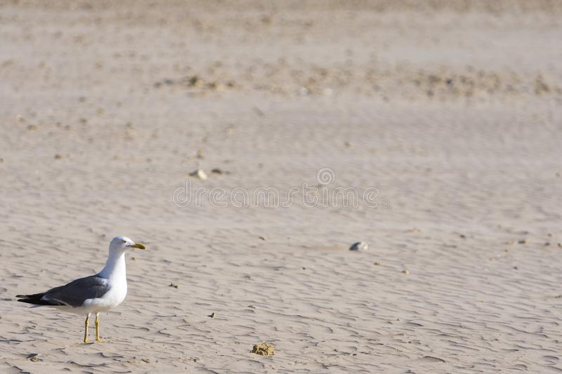 Seagull is in the sand on the beach. Seagull perched on the sand of the beach, watch what happens around him stock photos
