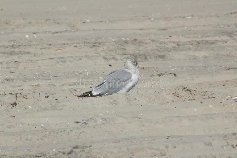 Seagull on the Sand royalty free stock photo