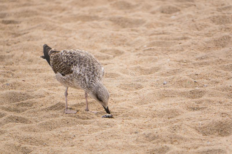 Seagull on sandy beach, opening a mussel shell with beak stock photo