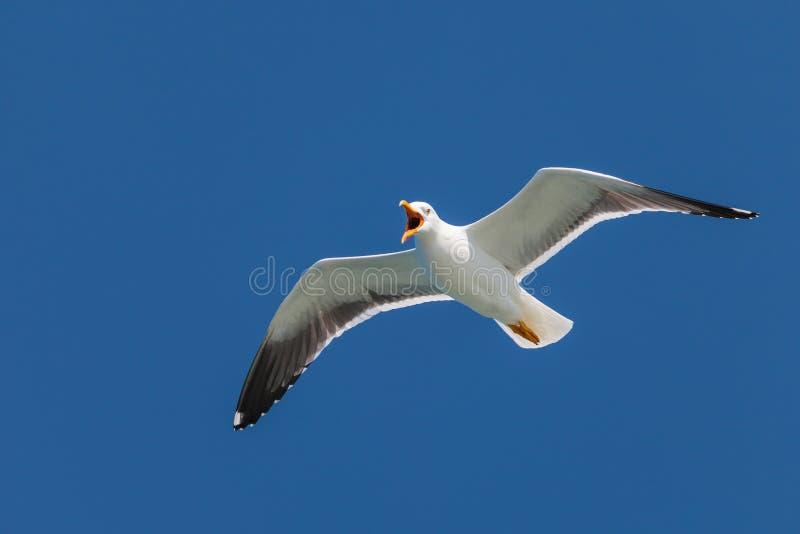 Seagull Screeching με έναν βαθύ μπλε ουρανό στοκ φωτογραφία με δικαίωμα ελεύθερης χρήσης