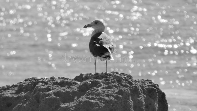 Download Seagull and the Sea stock photo. Image of away, rock - 62547224