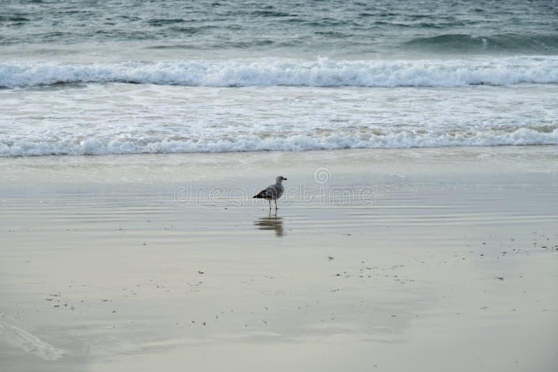Seagull seabird Försilvra fiskmåsseabirden som promenerar stranden i eftermiddagen med suddig våg- och havsbakgrund ensamhet royaltyfri bild