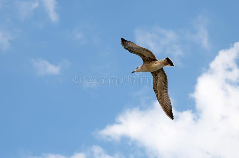 Seagull. A seagull flying on a beautiful blue sky. With clouds royalty free stock images
