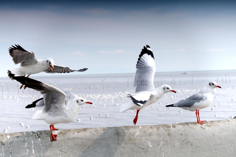 Seagulls landing on concrete fence by the sea royalty free stock images