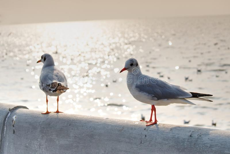 Two Seagulls standing together at sunset royalty free stock images