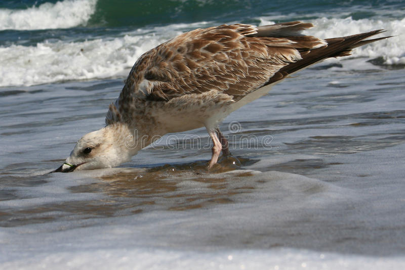Seagull is searching royalty free stock photo