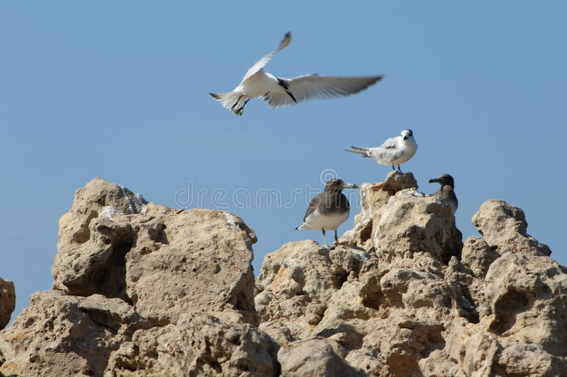 Seagull seeking a place to land royalty free stock photography