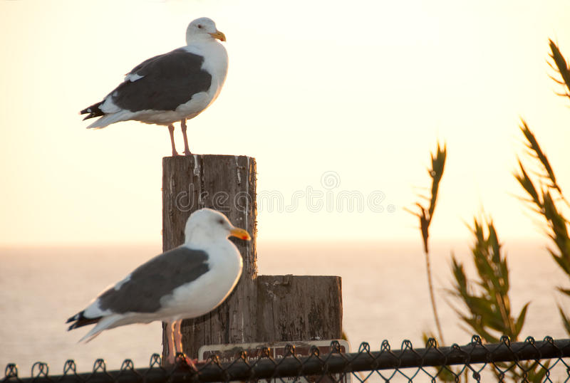 Seagull Sentinels Royalty Free Stock Image