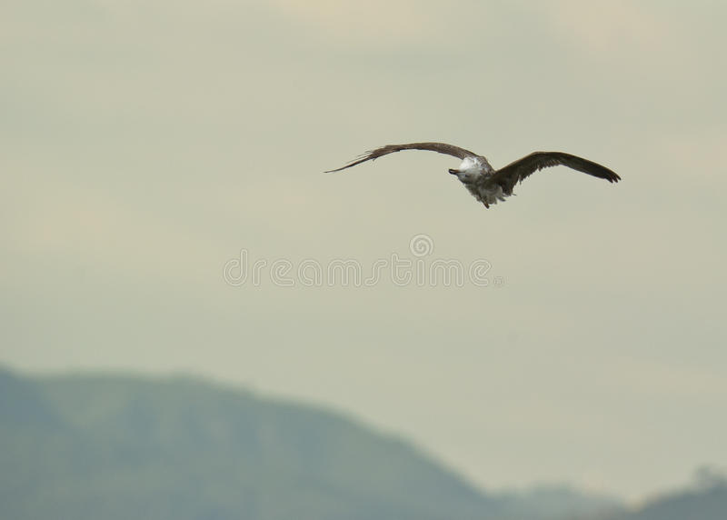 Seagull shaking her body on flight
