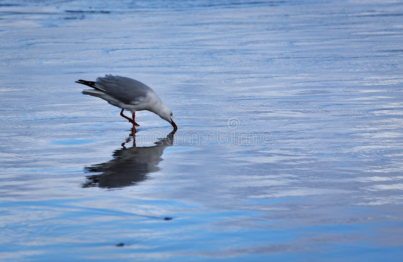 Seagull in the shallows stock photos