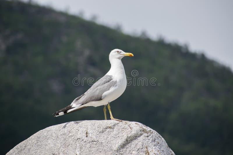 Seagull siedzi na skale zdjęcie royalty free
